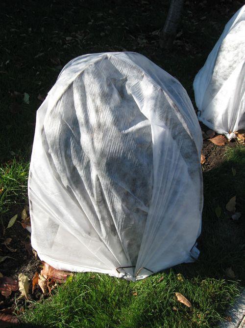 Укрытие барбариса на зиму
