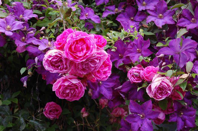 Розовая роза и клематисы