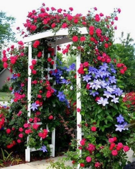 Роза и клематис украшают арку