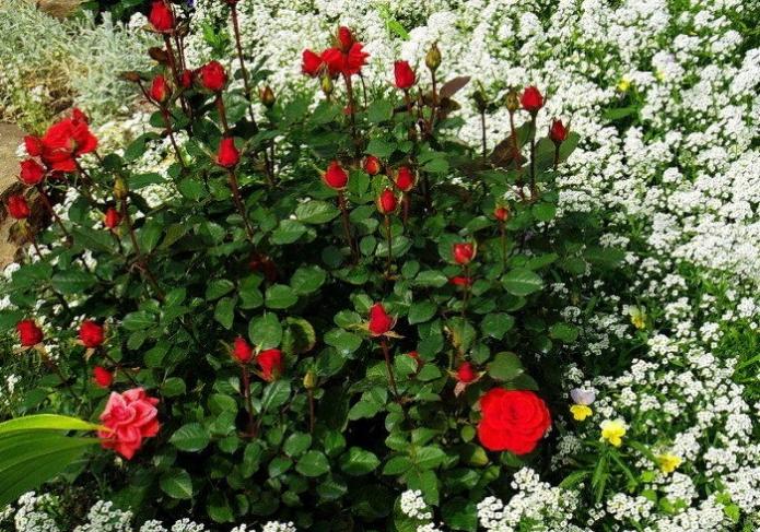 Красные розы и белая лобулярия