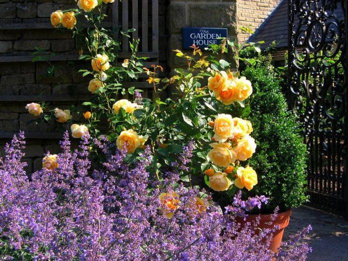 Желтые розы и лаванда