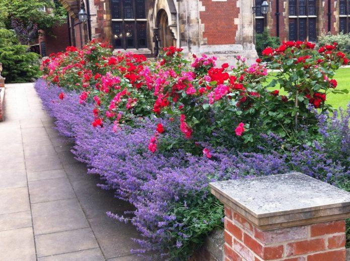 Красные и розовые розы рядом с лавандой
