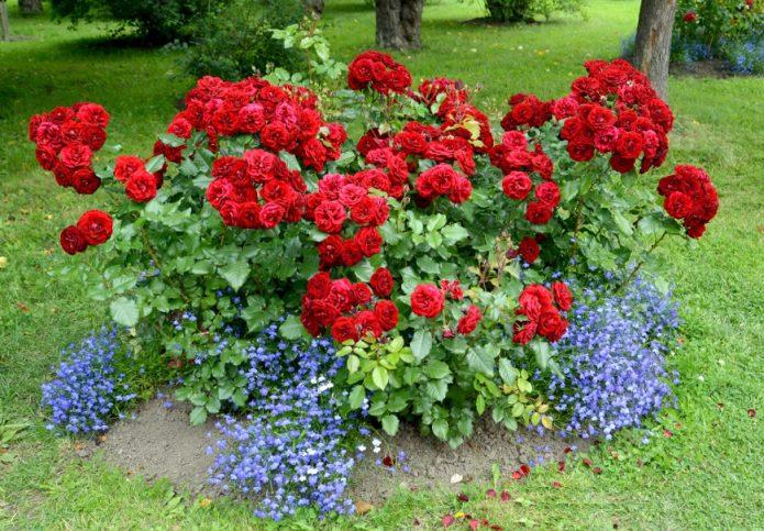 Лобелия и розы