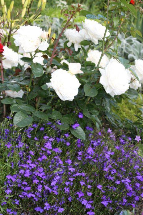 Белые розы и лобелия