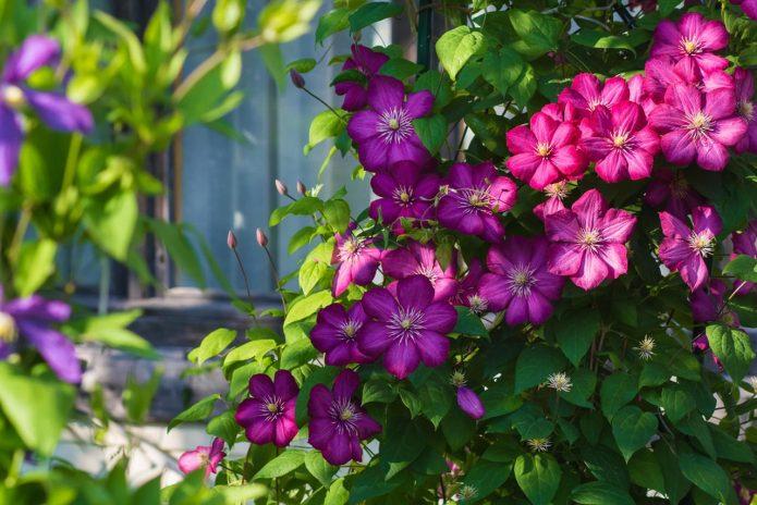 Синие и розовые клематисы