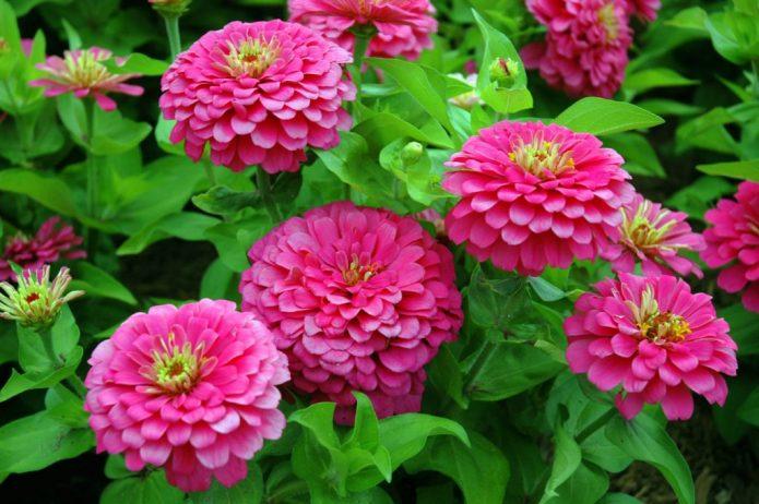 Розовая циния