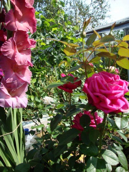 Тёмно-розовая роза и гладиолус