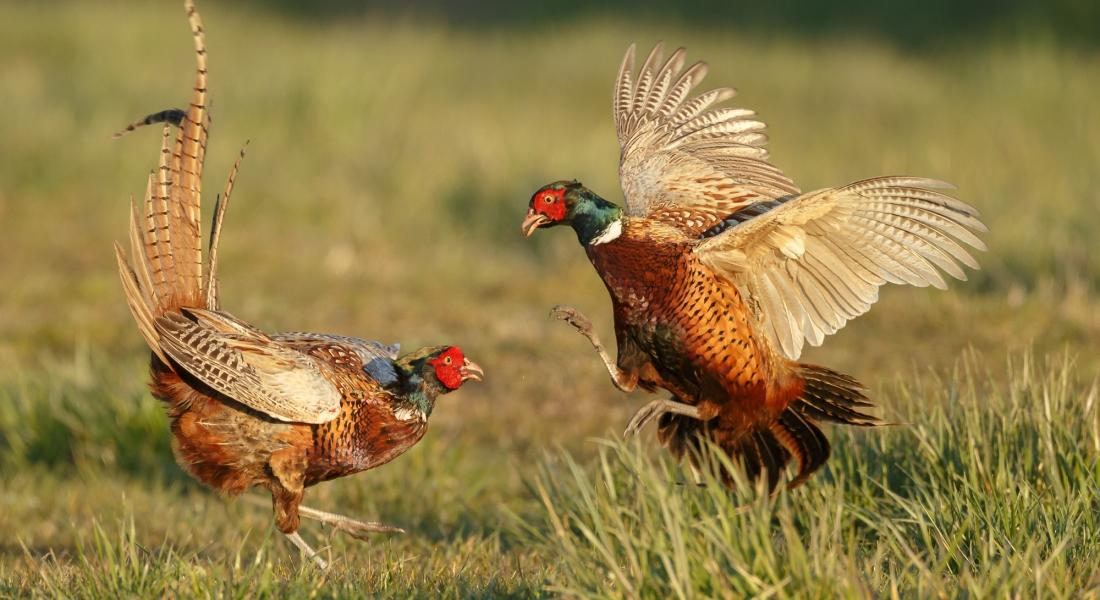 Птичник для фазанов