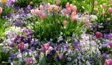 Тюльпаны с анютиными глазками