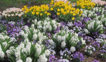 Гиацинты, тюльпаны и анютины глазки