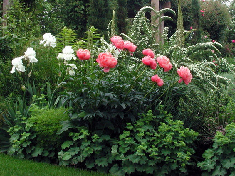 композиции с пионами в саду фото самых