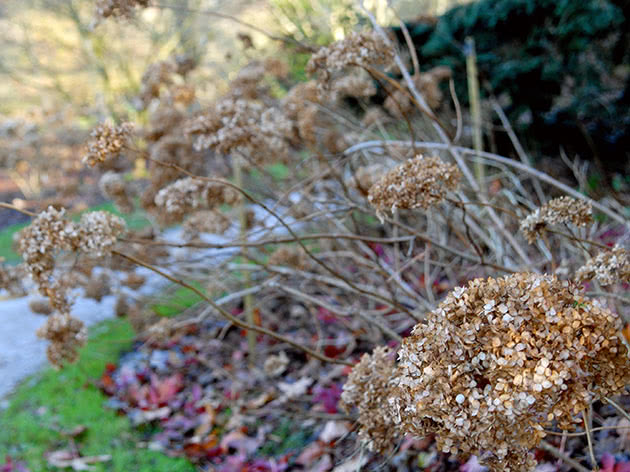Посадка гортензии осенью в открытый грунт из горшка в