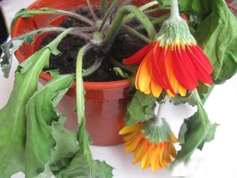 Причины, по которым чахнут, вянут и гибнут домашние растения || Почему дома не приживаются цветы